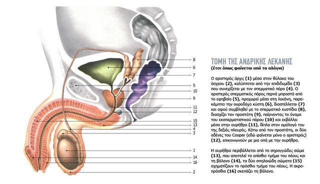 Η σεξουαλική ανατομία του συντρόφου σου αποτελείται από ένα συνδυασμό ορατών αλλά και κρυμμένων οργάνων. Στο σχεδιάγραμμα, η τομή της ανδρικής λεκάνης, όπως φαίνεται από τα πλάγια.