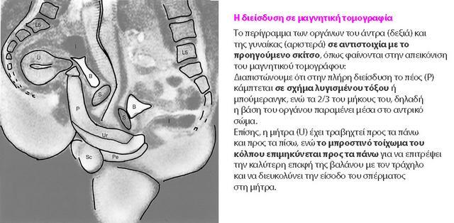 Μαγνητική τομογραφία την ώρα της ερωτικής πράξης με πλήρη διείσδυση (σημ: η μήτρα παρουσιάζει οπίσθια κάμψη). Πηγή: ιατρικά αρχεία BMJ.