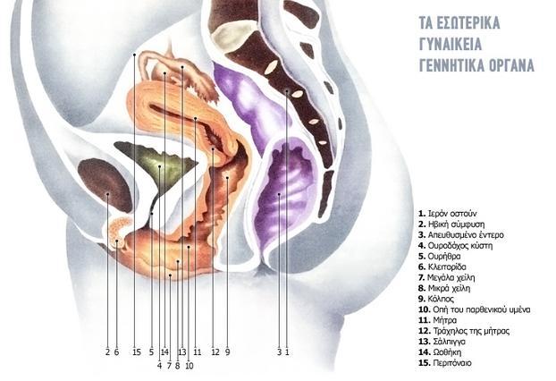 Τα εσωτερικά γεννητικά όργανα  σε λεπτομέρειες, όπως  φαίνονται από το πλάι.