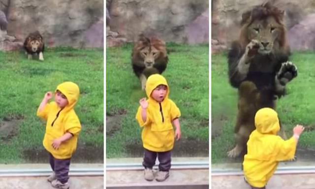 Συγκλονιστική στιγμή που λιοντάρι επιτίθεται σε αγοράκι