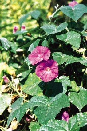 Η γιορτή των λουλουδιών: Ιπομέα